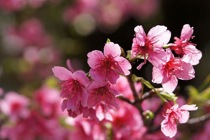沖縄の桜開花状況