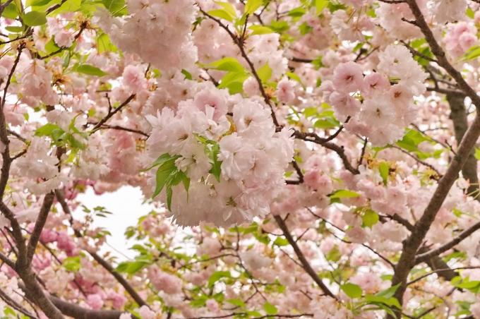 大阪府の<strong>桜</strong><strong>開花</strong>状況